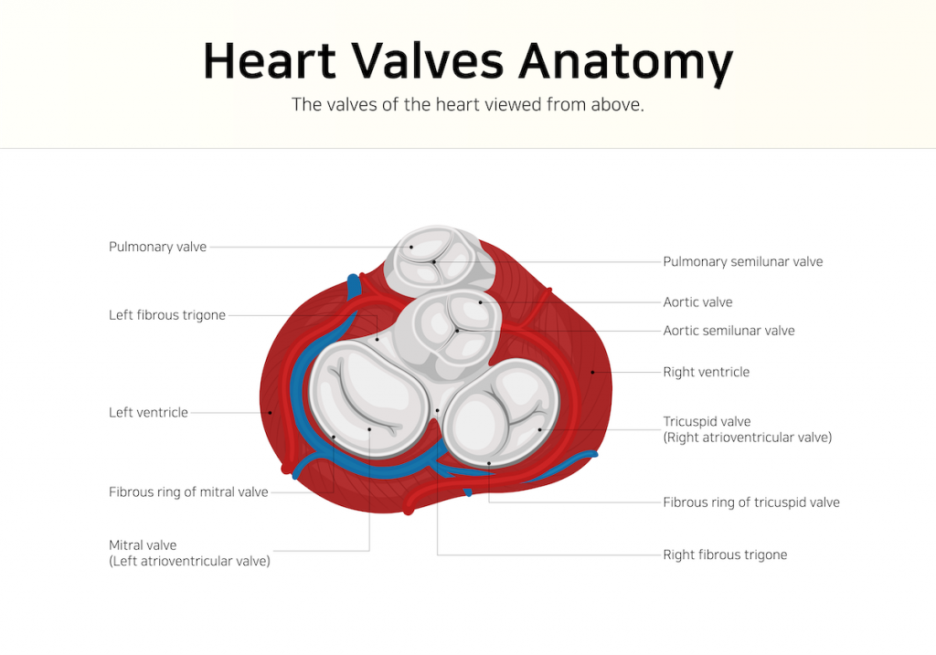 illustration of heart valves anatomy; blog: facts about heart valve disease